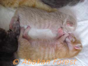 Photo chaton sibérien