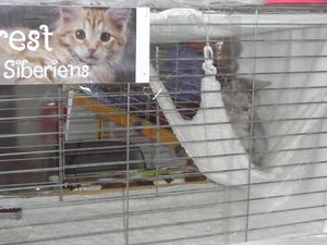 Photo of our feline show cage, cattery of siberian.