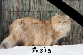Photo of Asia, cat siberian in the cattery.