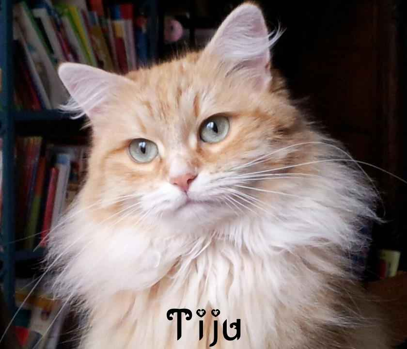 Very beautiful picture of our cat breeding Tiju.