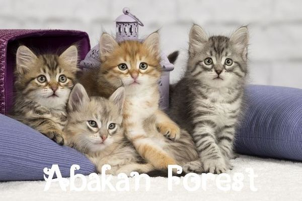 Photo chaton siberien Paris.