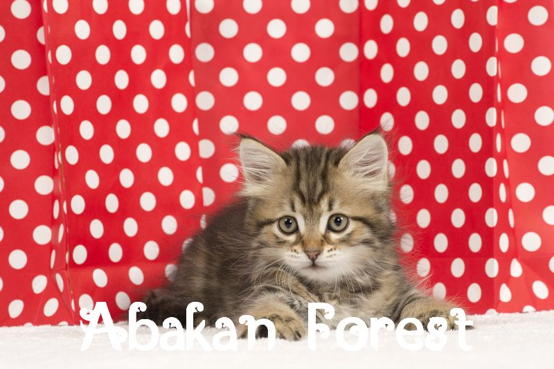 Photo chaton siberien.